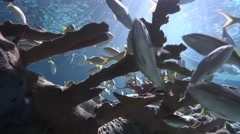 Low Angle View of Fish Swimming in an Artificial Reef.   4K Stock Footage