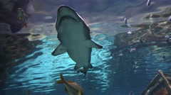 Great White Shark Seen from Below  4K Stock Footage