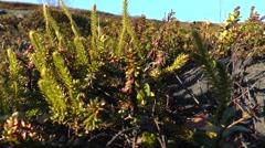 Leaves crowberries Stock Footage