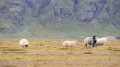 ICELAND Rettir sheep Schaf shepherd Hirte Stock Footage