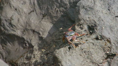 Crab Crayfish on a Rock Stock Footage