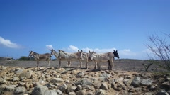 Group of donkeys on Aruba looking towards the camera - stock footage