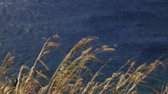 Thin dry plants windy day, ocean shore Stock Footage