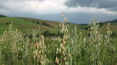 Graminifolious plant Stock Footage