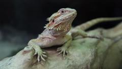 Agama - Australian dragon lizard Stock Footage