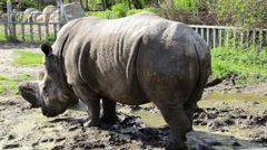 Big rhinoceros in zoological garden Stock Footage