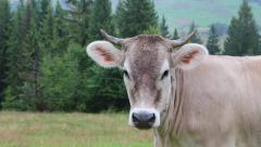 Milking cow on meadow - stock footage