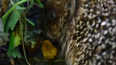 Closeup of cute hedgehog eating a bird in the wild Stock Footage