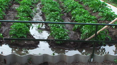 Summer. Day. smallholding. Is watering potato beds Stock Footage