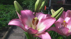 Tender orange lilies grow in the garden Stock Footage