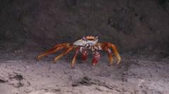 Crab Crawfish Close Up Slowmotion Rcoks Stock Footage