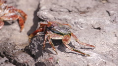 Crab Crayfish Bright Red Rocks Slowmotion Little Stock Footage