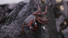 Crab Crayfish Rock Ocean Slowmotion Stock Footage