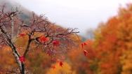 Stock Video Footage of Rainy weather. Autumn tree.