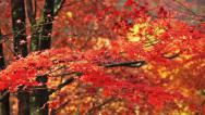 Stock Video Footage of Autumn red maple leaves with foliage in the background.
