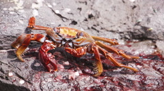 Crab Crayfish Bright Red Rocks Slowmotion Eating Stock Footage