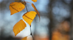 Autumn Yellow Birch Leaves Swaying in the Wind Leisurely - stock footage
