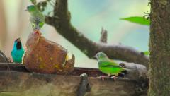 Green and blue tropical birds eating fruit in dry bamboo Stock Footage
