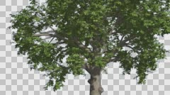 Broadleaf Tree is Swaying at The Wind Green Tree Leaves Are Fluttering Crown in Stock Footage