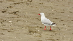 A white bird walking in sand Stock Footage
