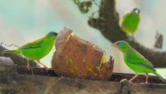 Green tropical birds eating fruit in dry bamboo Stock Footage