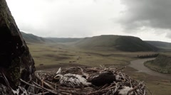 Young eagles are sleeping in a nest on top of the mountain - stock footage