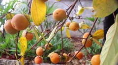 A ripe persimmon fruit on tree.  Stock Footage