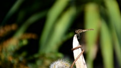 Dragonfly sitting and flying in summer Stock Footage