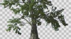 Sassafras Tree is Swaying at The Wind Green Tree Leaves Are Fluttering Crown in Stock Footage