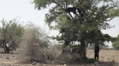 Tree climbing goats in Morocco Stock Footage