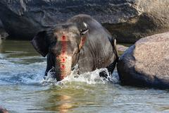 Beautiful Indian elephant is standing in the river. Stock Photos