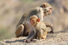 Rajasthan, Jaipur, indian monkeys taken in Galata - stock photo