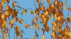 Yellowed Birch Leaves in the Morning November Sun Stock Footage