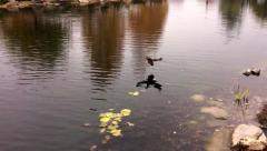 Wild ducks flying in slow motion and landing on the lake. Stock Footage