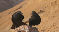 Tristram Starlings in Masada, Israel. Stock Footage