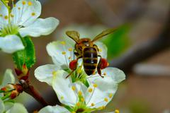 bee on a flower apple - stock photo