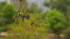 Olive tree branch, peace symbol, oil production, cosmetology industry, medicine Stock Footage