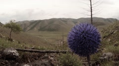 Mountain purple flower in a bowl on a background of rows and a pair of tree Stock Footage