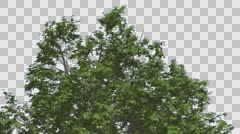 Broadleaf Top of Tree is Swaying at The Wind Green Tree Leaves Are Fluttering Stock Footage