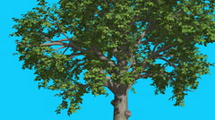 Broadleaf Tree is Swaying at The Wind Green Tree Leaves Are Fluttering Crown in - stock footage