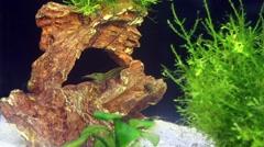 Greenish shrimps at the bottom of marine aquarium. Stock Footage