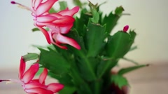 Closeup beautiful red flower of jungle cactus with flat green leaves. Stock Footage