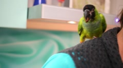 Green parrot sits at woman shoulder and eats cookie piece. Stock Footage