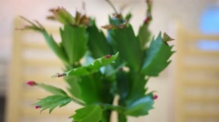 Green leaves and pink flower-buds of Christmas cactus. Stock Footage