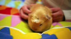 Girl plays with a cavy, scratching the hair on its flanks. Stock Footage