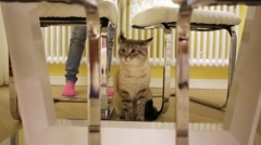 Grey cat sits under table and plays with rope in apartment. Stock Footage