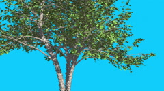 River Birch Tree is Swaying at The Wind Green Tree Leaves Are Fluttering Crown Stock Footage