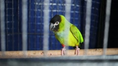 Green parrot walks by perch in cage bowing and spreading wings. Arkistovideo