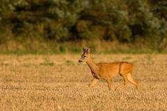Roe Deer buck walking through crop field Stock Photos