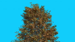 Shingle Oak Top of Thin Tree is Swaying Yellow Tree Leaves Are Fluttering Crown Stock Footage